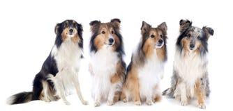 De honden van Shetland Stock Afbeeldingen