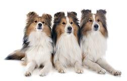 De honden van Shetland royalty-vrije stock fotografie