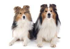 De honden van Shetland stock foto's