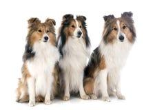De honden van Shetland Royalty-vrije Stock Afbeeldingen