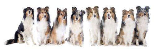 De honden van Shetland royalty-vrije stock afbeelding