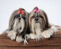 De honden van Tzu van Shih stock afbeeldingen