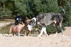 De honden zoals merle kleurden Great dane en het kleine fawn Franse Buldog samenkomen omhoog bij een hondpark stock afbeelding