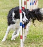 De hondenconcurrentie Royalty-vrije Stock Afbeeldingen