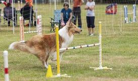 De hondenconcurrentie Royalty-vrije Stock Foto's