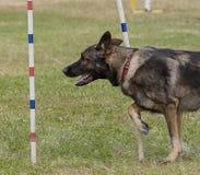 De hondenconcurrentie Stock Fotografie