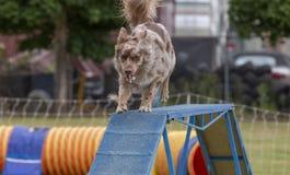De hondenconcurrentie Stock Afbeelding