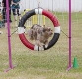 De hondenconcurrentie Stock Afbeeldingen