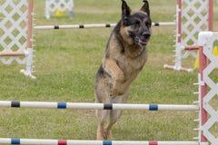De hondenconcurrentie Royalty-vrije Stock Foto