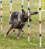 De hondenconcurrentie Royalty-vrije Stock Afbeelding