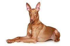De hondenhond van de farao stock fotografie