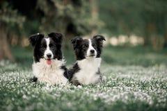 De hondfamilie van twee het Leuke Zwart-witte Grenscollies Leggen royalty-vrije stock foto