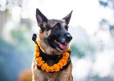 De hondfestival van Kukurtihar in Katmandu, Nepal Royalty-vrije Stock Foto