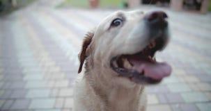 De hondglimlachen De hond is klaar te spelen en wacht op de eigenaar stock videobeelden