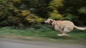 De hondlooppas bij hoge snelheid langs de rand van de weg stock video
