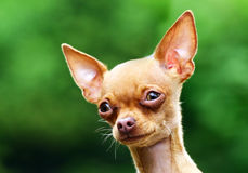 De hondportret van Chihuahua Stock Foto