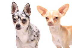 De hondportret van Chihuahua Royalty-vrije Stock Afbeelding