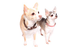 De hondportret van Chihuahua Royalty-vrije Stock Fotografie