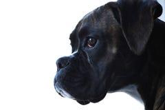 De hondportret van de bokser stock foto's