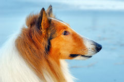 De hondportret van de collie Royalty-vrije Stock Foto's