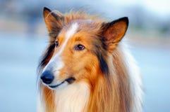 De hondportret van de collie Stock Afbeeldingen