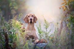 De hondportret van de herfst Hongaars vizsla in ochtendzon stock foto's