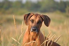 De hondportret van Rhodesian ridgeback Stock Afbeeldingen