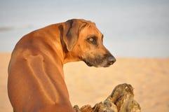 De hondportret van Rhodesian ridgeback Stock Afbeelding