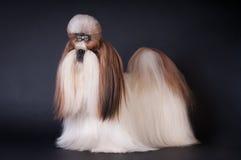 De hondportret van Shihtzu bij studio Stock Foto