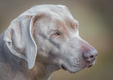 De hondportret van Weimaraner Royalty-vrije Stock Foto