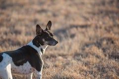 De hondprofiel van rattenterrier royalty-vrije stock afbeelding