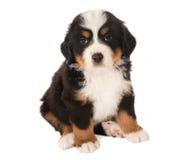 De hondpuppy van de berg Stock Afbeelding