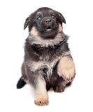 De hondpuppy van de herder `s Royalty-vrije Stock Fotografie