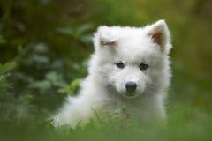 De hondpuppy van Samoyed royalty-vrije stock foto