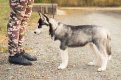 De hondpuppy van Siberische schor is vervullend de moeite waard het bevel van zijn bus Hond opleiding royalty-vrije stock foto's
