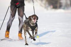 De hondRas van de slee in Lenk/Zwitserland 2012 Stock Afbeeldingen