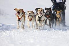 De hondRas van de slee in Lenk/Zwitserland 2012 Royalty-vrije Stock Afbeelding
