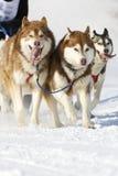 De hondRas van de slee in Lenk/Zwitserland 2012 Stock Foto's
