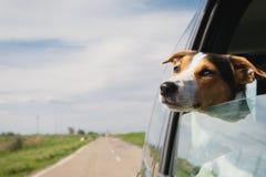 De hondritten in de auto royalty-vrije stock afbeelding