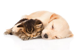 De hondslaap van het golden retrieverpuppy met Brits katje Geïsoleerde Stock Afbeelding
