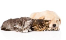 De hondslaap van het golden retrieverpuppy met twee Britse katjes Geïsoleerde Royalty-vrije Stock Foto