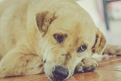 De hondslaap van Thailand Royalty-vrije Stock Afbeeldingen