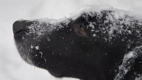 De hondsnuit in sneeuw bekijkt u stock footage