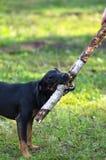 De hondspelen in het Park Stock Foto's