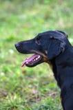 De hondspelen in het Park Royalty-vrije Stock Fotografie