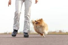 De hondtrainer geeft een herdershond van Shetland een traktatie royalty-vrije stock foto's