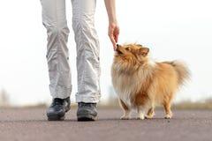 De hondtrainer geeft een herdershond van Shetland een traktatie stock afbeelding