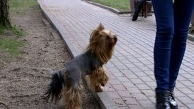 De hondtribunes van Yorkshire Terrier op forepaws stock video
