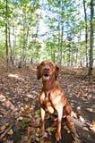 De hondzitting van Vizsla in de herfstbladeren Royalty-vrije Stock Foto's