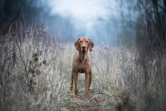De Hongaarse hond van hondenvizsla stock foto's